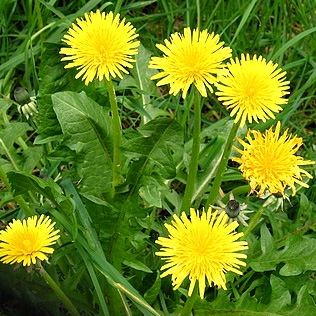Dandelion leaf and root both have diuretic properties that can rid the body of water weight, but has little effect on body fat.